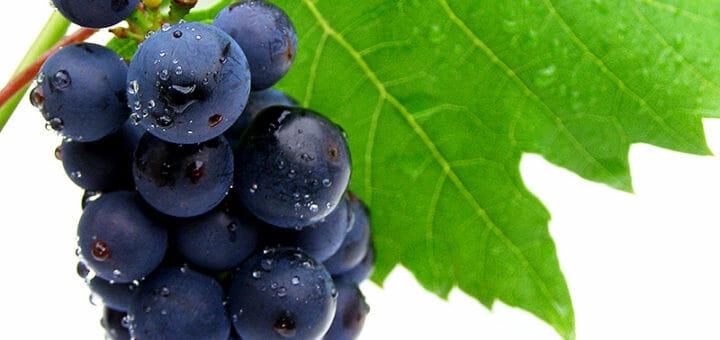 Traubenkernextrakt: Rispen blauer Weintrauben mit Weinblatt