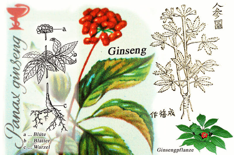 Ginseng Pflanzenteile