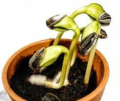 Sonnenblumensprossen | Keime und Sprossen
