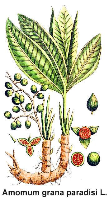 Amomum-grana-paradisi