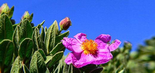 Zistrose | Heilpflanzenlexikon