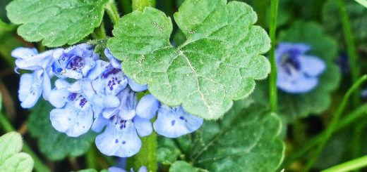 Gundelrebe | Wildpflanzen in der Küche