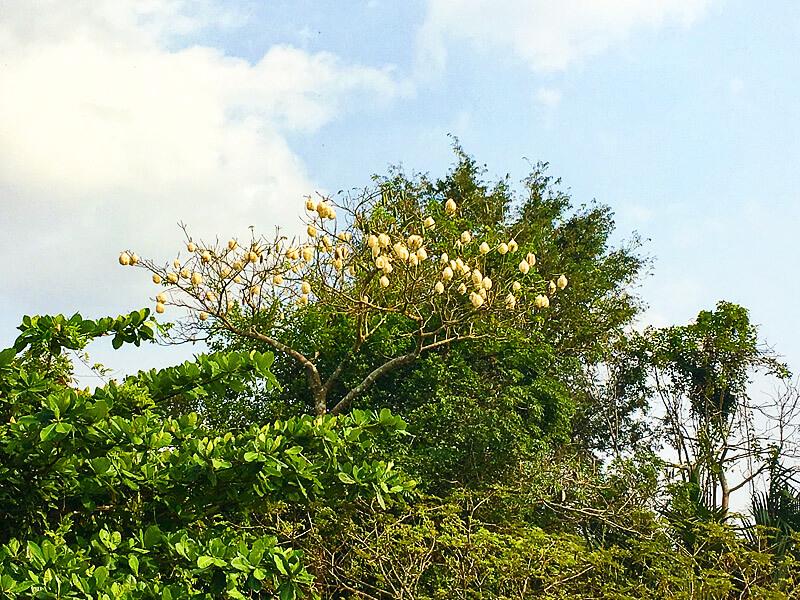Kapokbaum in Vietnam