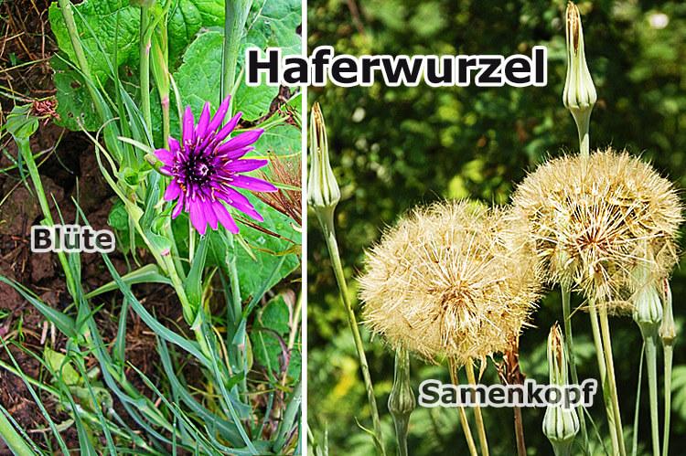 Blüte und Samenkopf der Haferwurzel