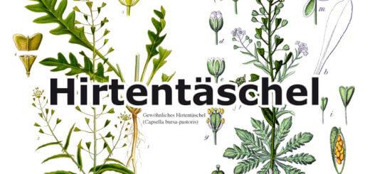 Hirtentäschel | Wildpflanzen in der Küche