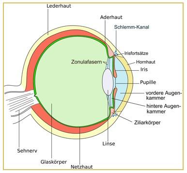 Sehen - das Auge