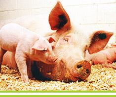 Schweinegrippe: die wichtigsten Infos