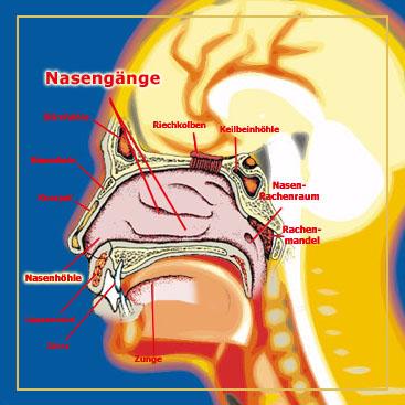 Der Aufbau der Nase › gesund.co.at