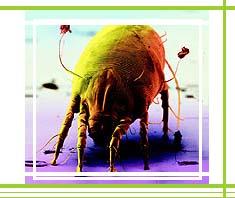allergische Reaktionen auf Hausstaubmilben